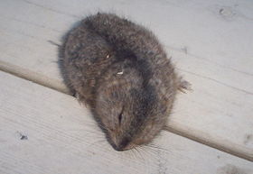 North American Brown Lemming.jpg