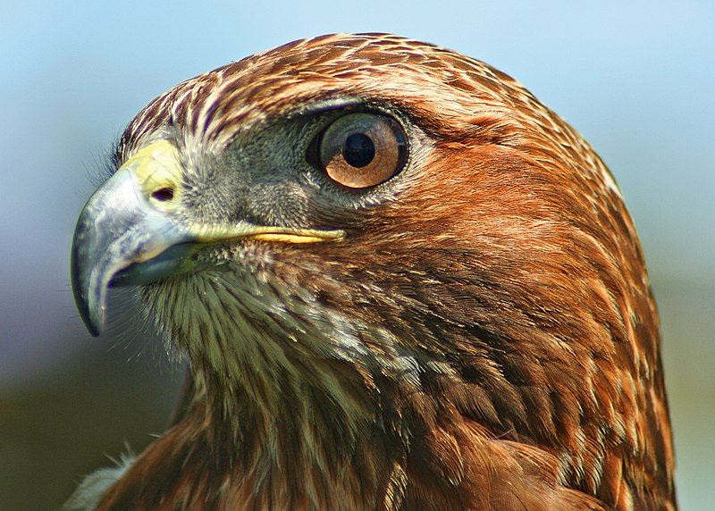 File:Northern-Red-Tailed-Hawk.jpg