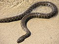 NorthernWaterSnake23.jpg
