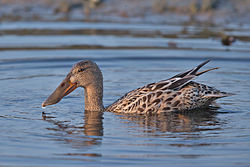 Northern Shoveler-Anas clypeata female.jpg