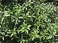 Nototrichium divaricatum (5212537769).jpg