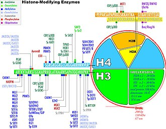 Histone-modifying enzymes - Histone-Modifying Enzymes, the sites for modification are marked in color.
