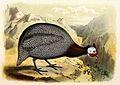 Numida meleagris 1869.jpg