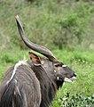 Nyala (Tragelaphus angasii) male (31442172194).jpg