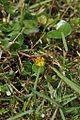 Nymphoides aurantiaca in Thailand.jpg