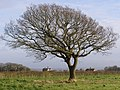 Oak tree in a field, Beaulieu Estate - geograph.org.uk - 350929.jpg