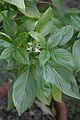 Ocimum tenuiflorum - Kolkata 2013-11-10 4419.JPG
