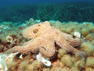Octopus - Common octopus (Octopus vulgaris)