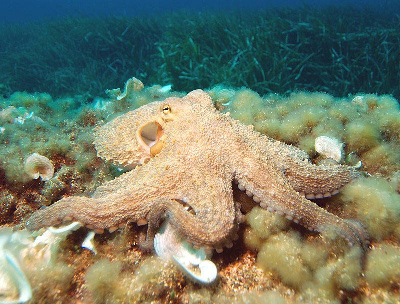 Common octopus on seabed