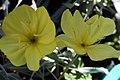 Oenothera fremontii Lemon Silver 0zz.jpg