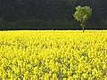 Oil-seed rape and a small tree near Whitchurch - geograph.org.uk - 402979.jpg