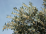 Olea europaea 2357 flowers.jpg