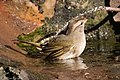 Olive Sparrow National Butterfly Center Mission TX 2018-03-01 16-31-11-2 (39953213044).jpg