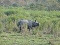 One Horned Rhino at Kaziranga National Park Assam India 2.jpg