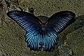 Open wing position of Male Papilio memnon Linnaeus, 1758 – Great Mormon DSC 0213.jpg