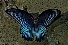 Open wing position of Male Papilio memnon Linnaeus, 1758 – Great Mormon DSC 0213.jpg