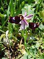 Ophrys bertolonii Ficuzza 0020.JPG