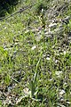 Ophrys mammosa kz9.jpg
