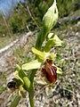Ophrys sphegodes 19.jpg