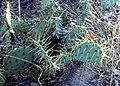 Opuntia lindheimeri (4484872655).jpg