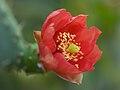Opuntienblüte Opuntia spec.-002.jpg