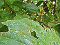 Orange-tailed Marsh Dart (Ceriagrion cerinorubellum) (8071165939).jpg