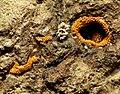 Orange Slime Mould (31418329880).jpg