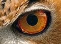 Orange eye (6959548877).jpg