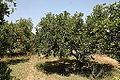 Orangers1 (Souss).JPG