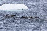 Orca Pod Gerlache Channel Antarctica (46422079605).jpg