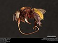 Orchid bee (Apidae, Eufriesea sp.) (36501292413).jpg