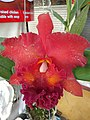 Orchid from Thailand 12.jpg