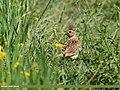 Oriental Skylark (Alauda gulgula) (28556433301).jpg