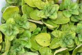 Origanum vulgare aureum 3zz.jpg