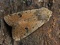 Orthosia cruda - Small Quaker - Ранняя совка жёлто-серая (27203367268).jpg