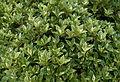 Osmanthus heterophyllus Goshiki.jpg