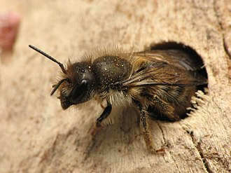 "The mason bee Osmia cornifrons nests in a hole in dead wood. Bee ""hotels"" are often sold for this purpose. Osmia cornifrons.5.1.08.w.jpg"