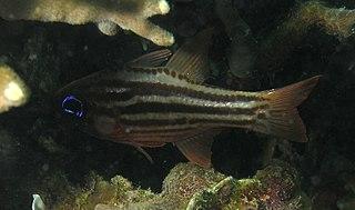 <i>Ostorhinchus compressus</i> species of fish