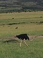 Ostrich at work (14006561665).jpg