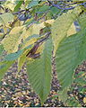 Ostyra carpinifolia BotGardBln1105MaleInflorescencesLeavesFall.jpg