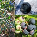 Owoce Borówka wysoka.jpg