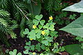 Oxalis stricta flowers and foliage 002.JPG