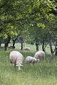 Pâturage de brebis dans un peuplement de chênes pubescents.jpg