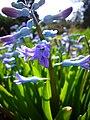 P1130471 Hyacinthus orientalis Common hyacinth (Hyacinthaceae).JPG