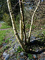 P1320138 Angers arboretum GA orpin blanc rwk.jpg