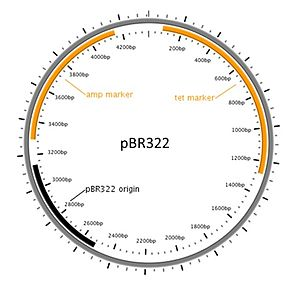 Molecular cloning - Diagram of a commonly used cloning plasmid; pBR322. It's a circular piece of DNA 4361 bases long. Two antibiotic resistance genes are present, conferring resistance to ampicillin and tetracycline, and an origin of replication that the host uses to replicate the DNA.