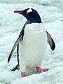 PINGUIN Ieselspinguin 02 ganz.jpg