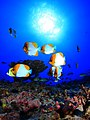 PMNM Pyramid Butterfly Fish - French Frigate Shoals (49798459067).jpg