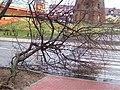 POL Polkowice, drzewo 2, ul. Młyńska.jpg
