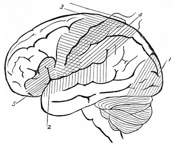 PSM V25 D635 Side view outline of the human brain.jpg